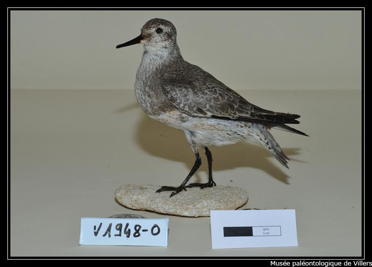 Identification d 39 oiseau forum du groupe ornithologique for Houpette oiseau