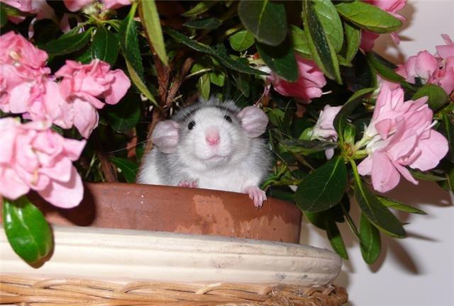 le forum des rat-stafa-rats