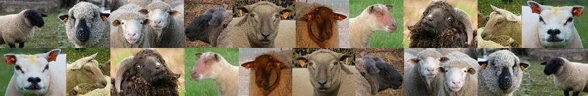 L'élevage ovin - Moutons