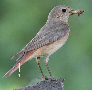 Identifier les oiseaux des parcs et des jardins au for Oiseau gris et blanc