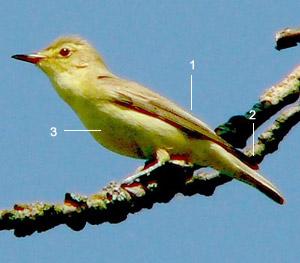 Identifier les oiseaux des parcs et des jardins au for Oiseau vert et rouge