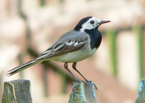 Identifier les oiseaux des parcs et des jardins au for Oiseau tete noire et blanche