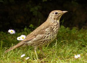 Identifier les oiseaux des parcs et des jardins au for Oiseau longue queue ventre jaune
