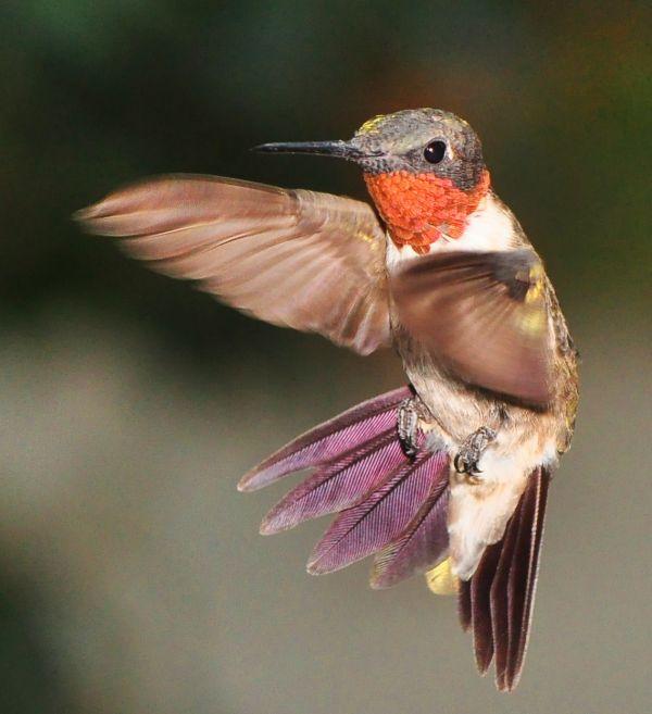 Le monde merveilleux des colibris - Oiseau mouche dessin ...