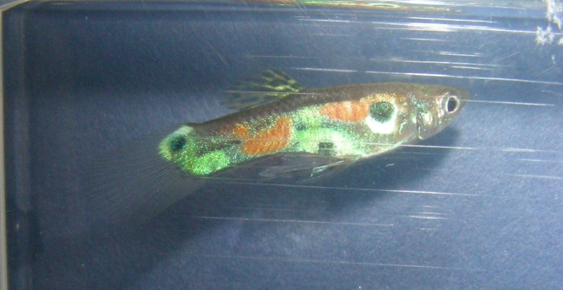 Endlers U.S.A. :: View topic - Wild Guppies from various ...