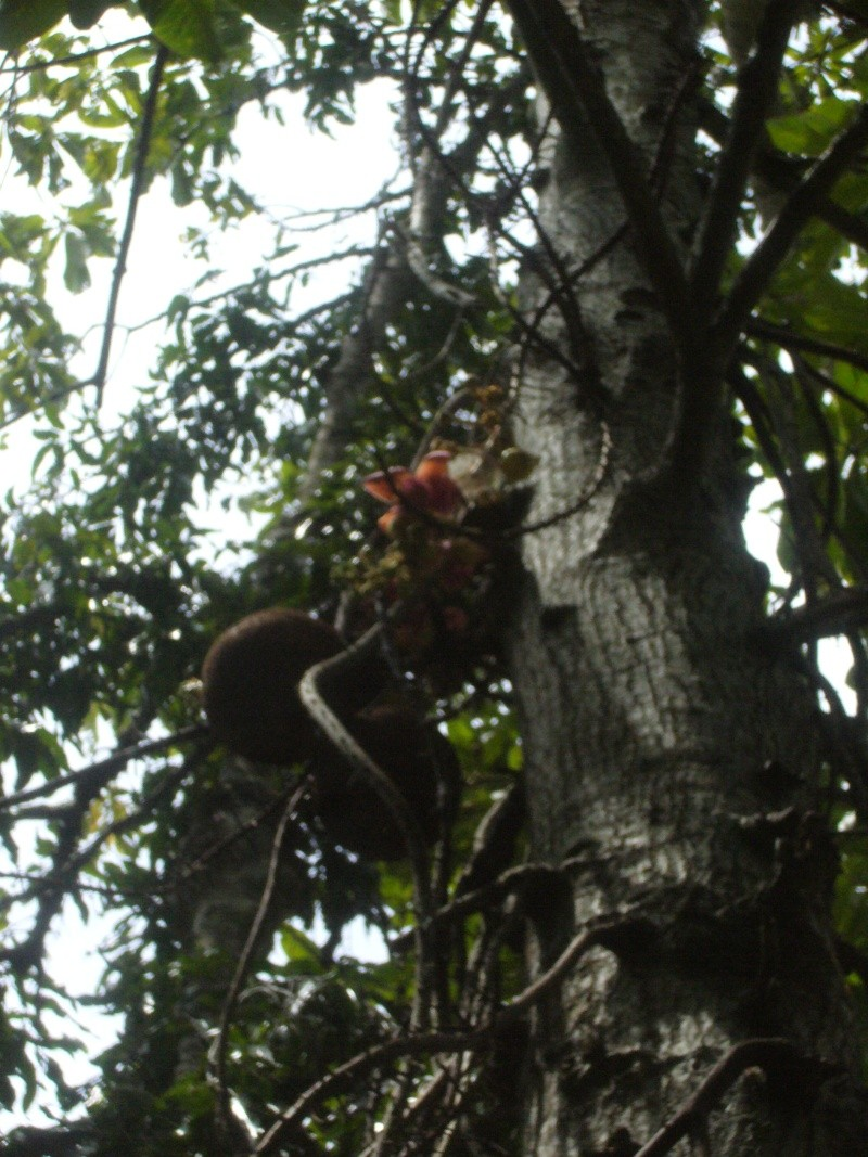 Lecythidaceae couroupita guianensis for Achat de plantes par correspondance