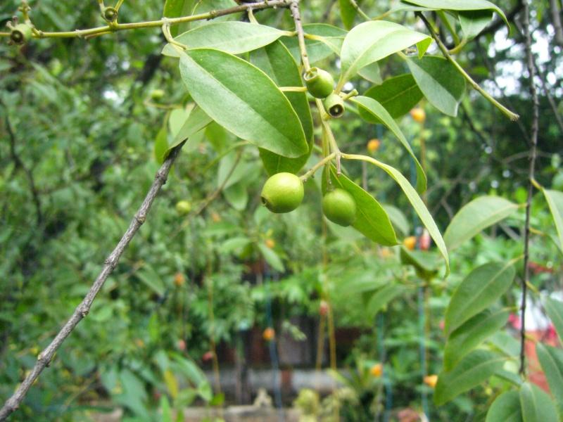 Santalaceae santal album semis for Plantes par correspondance