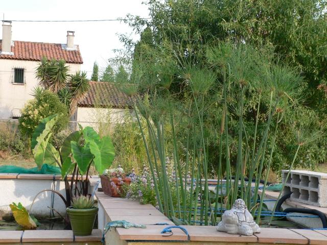 forum jardin au naturel les papyrus. Black Bedroom Furniture Sets. Home Design Ideas