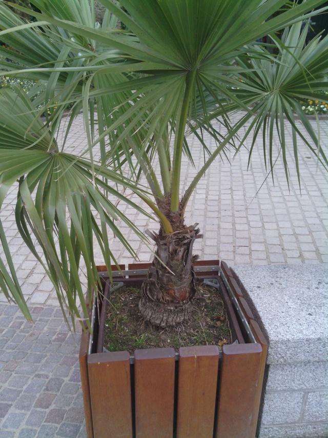 Le forum des fous de palmiers identification palmier for Palmier dans pot