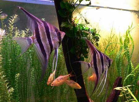 poisson tetra empereur