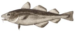 Image result for ikan kod