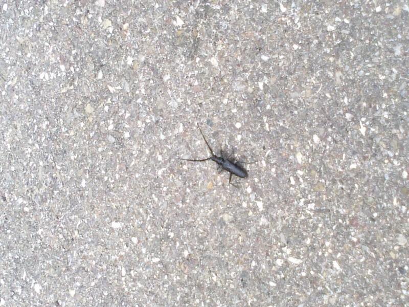 Quel est cet insecte - Petit moucheron qui pique ...