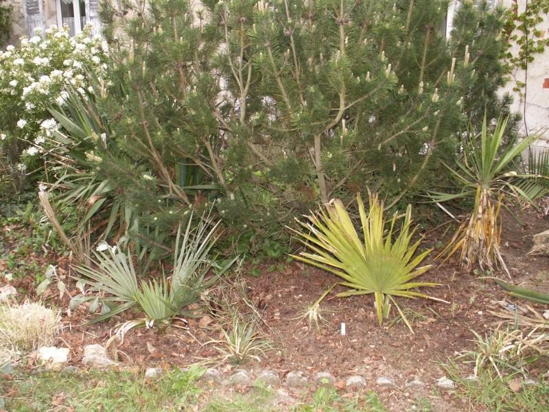 Le forum des fous de palmiers r sistance au froid du sabal palmetto - Palmier resistant au froid ...