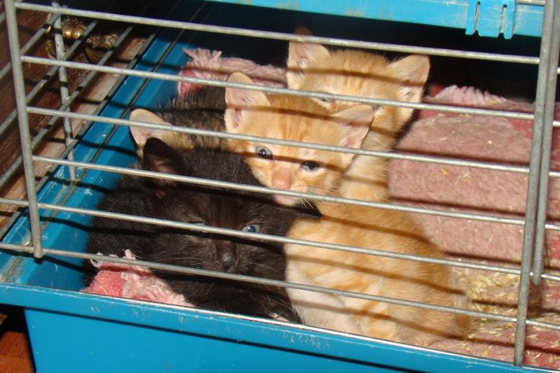 a adopter reserver ivoire chaton f 4sem dans le 83 chateki04. Black Bedroom Furniture Sets. Home Design Ideas