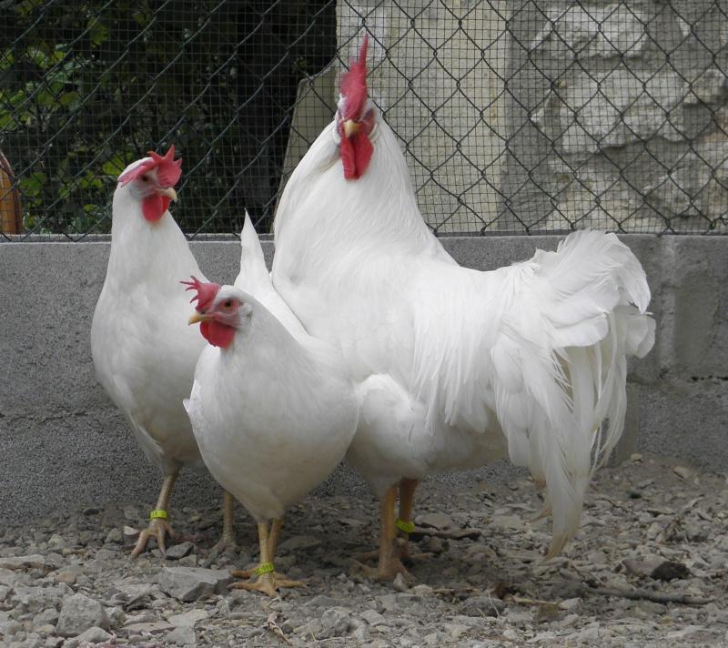 Leghorn blanc est possible for Duree de ponte d une poule pondeuse
