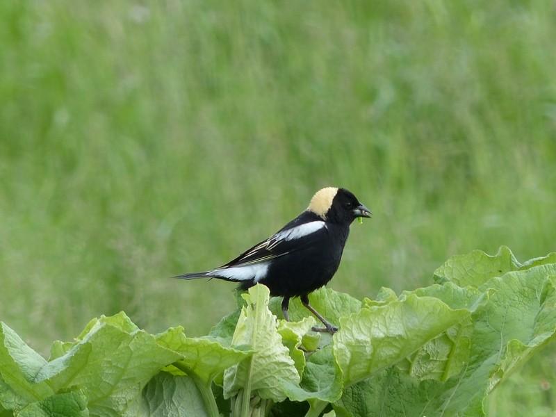 Photo d 39 oiseau d 39 am rique goglu des pr s goglu commun for Oiseau commun