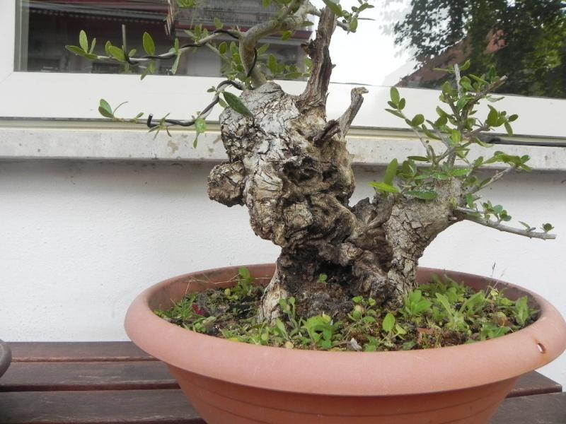 Olivo yamadori for Acquisto piante olivo