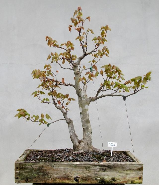American bonsai at the nc arboretum page 2 - Arce rubrum bonsai ...